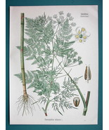 PARSNIP CHERVIL Plant Chaerophyllum Bulbosum - Beautiful COLOR Botanical... - $13.77