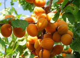 Fruit Yellow Apricot Tree Seeds (5 Pieces per bag) Perennial Yellow Fruit Woody  - $11.55