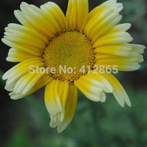Rare Beauty Chrysanthemum Flower Seeds 50pcs/bag Original - $4.00