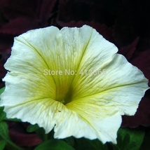 30 pcs/ Bag Balcony Bonsai Yellow Petunia Seeds, Original Pack Flower Seeds - $4.00