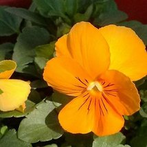 50 Pansy Flower Seeds (Viola x Wittrockiana Swiss Giant) Gold - $4.85