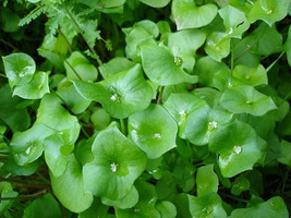 100 Seeds Purslane Winter (Claytonia Perfoliata) herb - $7.99