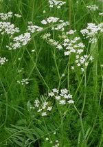 200 Cumin Flower Seeds (Cuminum Cyminum) - $7.99