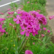 500 Catchfly Flower Seeds (Silene Armeria) - $7.99