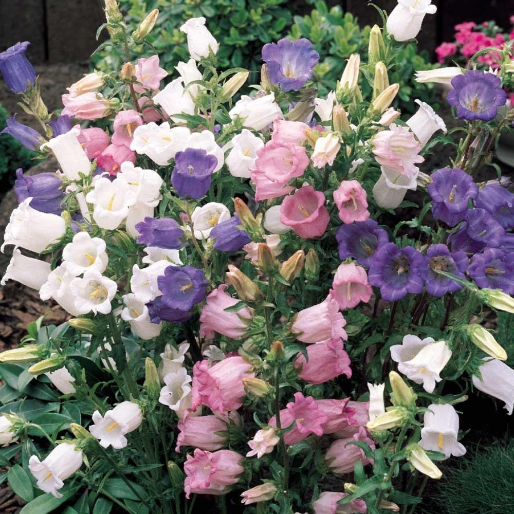 100 Canterbury Bells Flower Seeds (Campanula Medium) Mixed colors - $7.99