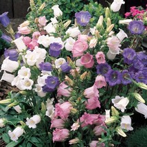 100 Canterbury Bells Flower Seeds (Campanula Medium) Mixed colors - $5.20