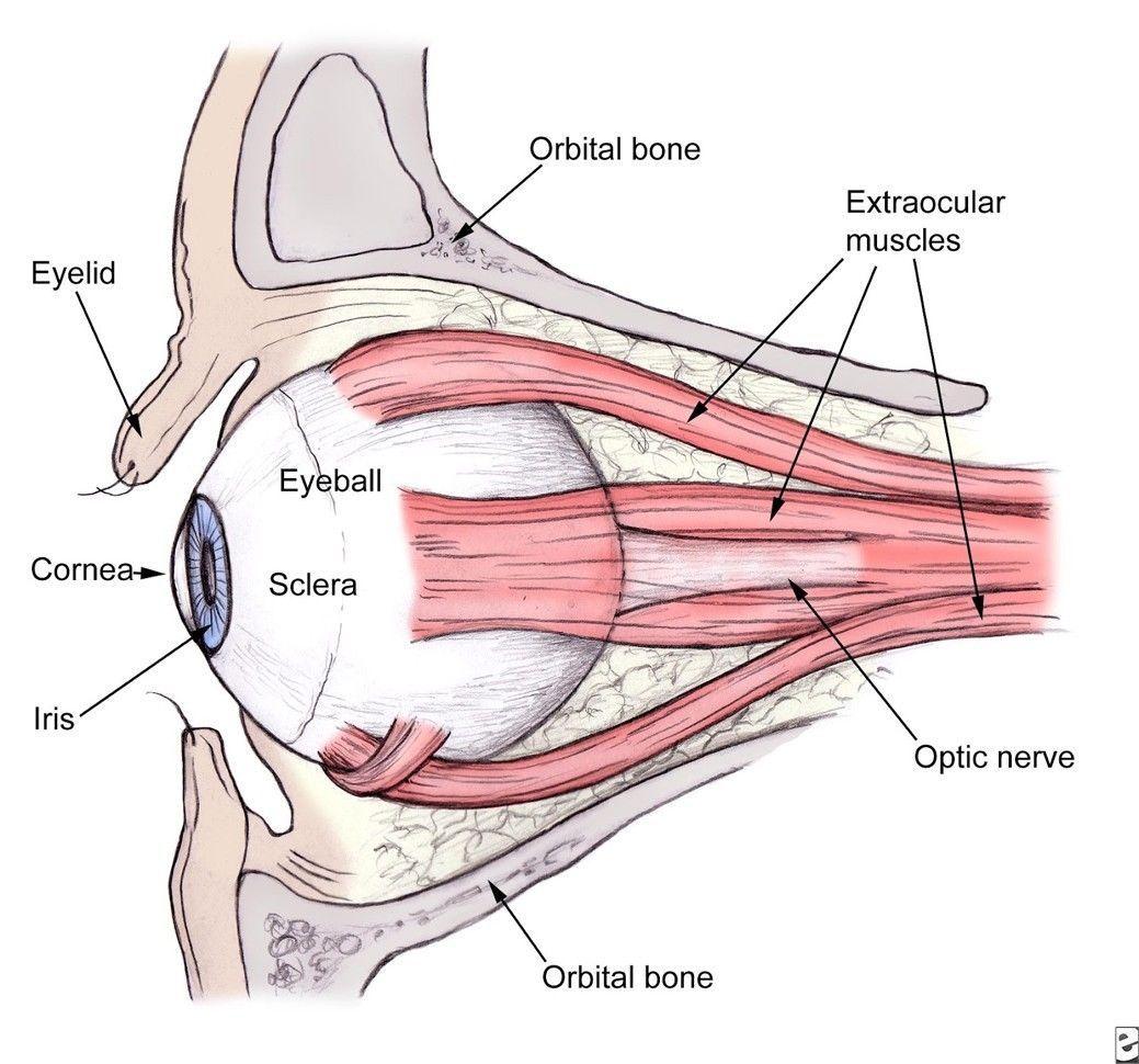 Human Body Eye Anatomy Art 32x24 Poster Decor [E112516445577125M ...