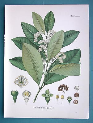 JAMAICA PEPPER Spice Plant Pimenta officinalis - Beautiful COLOR Botanical Print