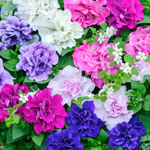 Mixed Double-petalled Hanging Petunia Hybrid Seeds, 200 seeds  - $3.00