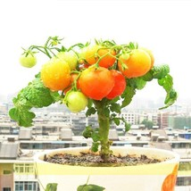 Heirloom Bonsai Middle Dwarf Yellow Tomato Organic Seeds - $6.78