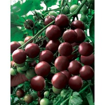 Purple Rose Cherry Tomato Seeds, 1 Original Pack, Approx 300 Seeds / Pack - $4.00