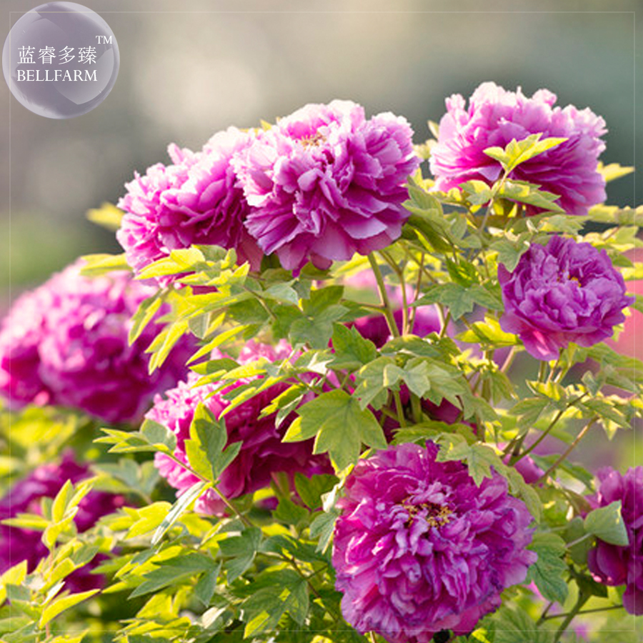 Primary image for Purple Peony Seeds, 5 seeds, professional pack Lovely garden seeds