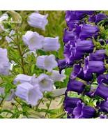 Rare Light Dark Purple Campanula Bellflower Flowers, 50 Seeds - $3.25