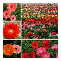 20pcs Mix Colors African Chrysanthemum Seeds, Flower Seeds, Barberton Da... - $5.25
