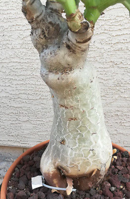 Cyphostemma juttae The Goliath of Caudex Plants 43