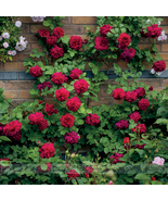 Rare 'Tess of the d'Urbervilles' Dark Red Climbing Rose Plant Flower, 50... - $5.68