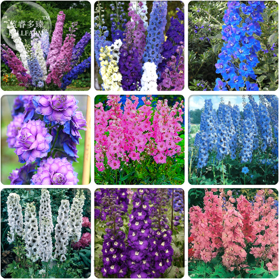 Different Types Of Delphinium Perennial And 50 Similar Items