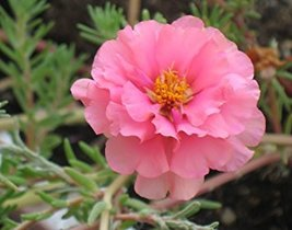 100 seeds / pack, Pink Portulaca Grandiflora Seeds Homegrown Moss Rose S... - $4.88