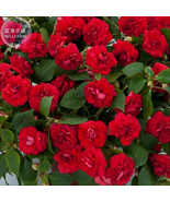 100 Impatiens Balsamina Red Garden Balsam Seeds, Very Beautiful Flowers - $4.88