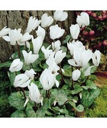Cyclamen Hederifolium White  Flower Seeds, professional pack, 6 Seeds - $4.88