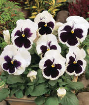 50 Pansy Swiss White Black Flowers Seeds, Professional Pack, viola wittr... - $4.88