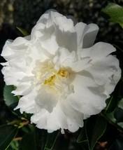 Outdoor Living – Garden - Camellia Sasanqua Mine No Yuki Quart Plant - tgi - $51.95