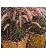 Live Rooted Pennisetum setaceum Rubrum Red Purple Fountain Grass Easy Lo... - $10.40