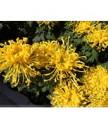 Yellow Spider Chrysanthemum Balcony Flower Seeds, Professional Pack, 50 ... - $4.85