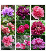 Rare Heirloom Mixed 9 Colors Luo Yang Peony Plant Flower Seeds,15 Seeds  - $6.65