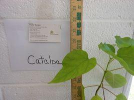 Catalpa Tree image 5
