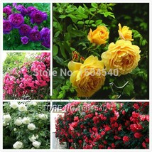 Climbing Rose Seeds Beautiful Lovely Color gorgeous yellow white purple ... - $5.00