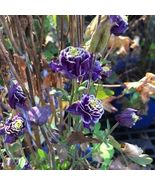 100 Double Aquilegia (Columbine) Seeds,Beautiful Flower DIY Home Garden Plant  - €4,11 EUR