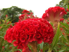 400 Giant Cockscomb-Blood Red seeds~Showy  image 1