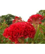 400 Giant Cockscomb-Blood Red seeds~Showy  - $5.68