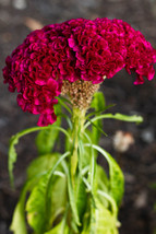 400 Giant Cockscomb-Blood Red seeds~Showy  image 2