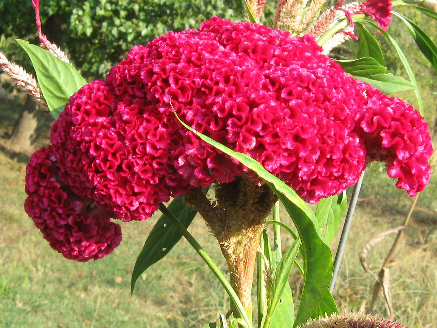 400 Giant Cockscomb-Blood Red seeds~Showy  image 3