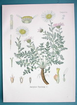 SPANISH CHAMOMILE Anacyclus Pyrethrum - Beautiful COLOR Botanical Print - $15.30