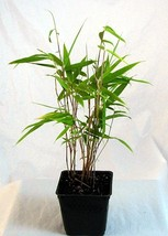 "4"" Plant Blue Fountain Bamboo - Fargesia nitida - Grow Indoors/Out - $29.98"