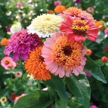 Zinnia elegans Scabiosa Mix Color Small Flower Zinnia about 50 pcs Seeds... - $4.55