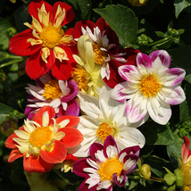 100 Dahlia seeds- Dandy Mix~beautiful gardens ,so nice , bonsai or yard ... - $4.95