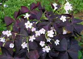 10 Bulbs Purple Rain Shamrock - The Love Plant - Edible - Oxalis triangu... - $12.98