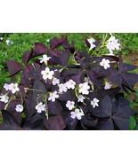 10 Bulbs Purple Rain Shamrock - The Love Plant - Edible - Oxalis triangu... - $12.98