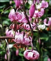 Turks Cap Lily 20 Seeds - Lilium martagon - Hardy! - $13.49