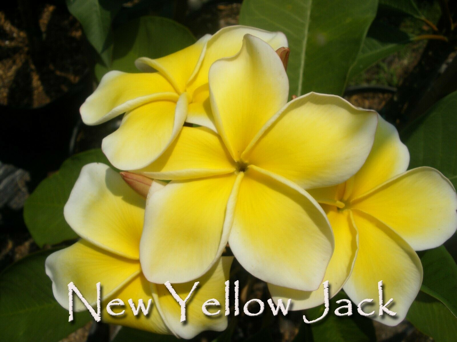 Primary image for Free Bonus + Rare & Exotic Thai New Yellow Jack Compact Plumeria cutting