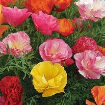 Poppy Mission Bells Mix Seeds (Eschscholzia Californica) 200+Seeds - $4.49+