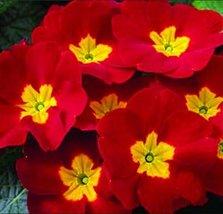 Fresh Rare Red Primrose Garden Easy Planting 100pcs Seeds Flower Semillas - $8.40