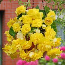 Begonia Bulbs, pendula yellow ( 2 Bulbs) One of the most popular PLANT - $22.10
