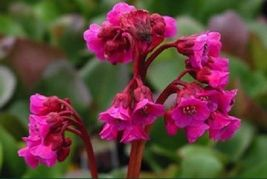 Ship From Us 25 Seeds Bergenia Winter Glow,Diy Sb Flower Seeds - $27.99