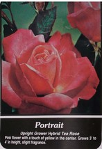 Portrait Pink Yellow Center Rose 2 Year Live Bush Plants Shrub Plant Fin... - $34.95