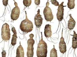 Jerusalem Artichoke Fresh Organic Tubers 1 lb Sunchokes To Eat or Grow For More - $18.70